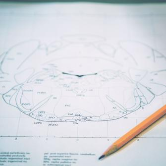 Pencil and Diagram of Mouse Brain